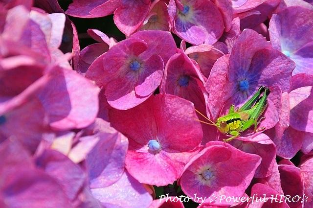 紫陽花と仮面ライダー (1)