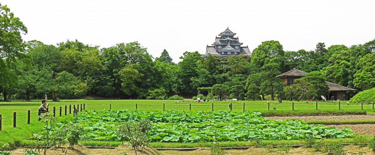 s-20160601 後楽園井田の大賀蓮の花の一番咲きの様子ワイド風景 (1)