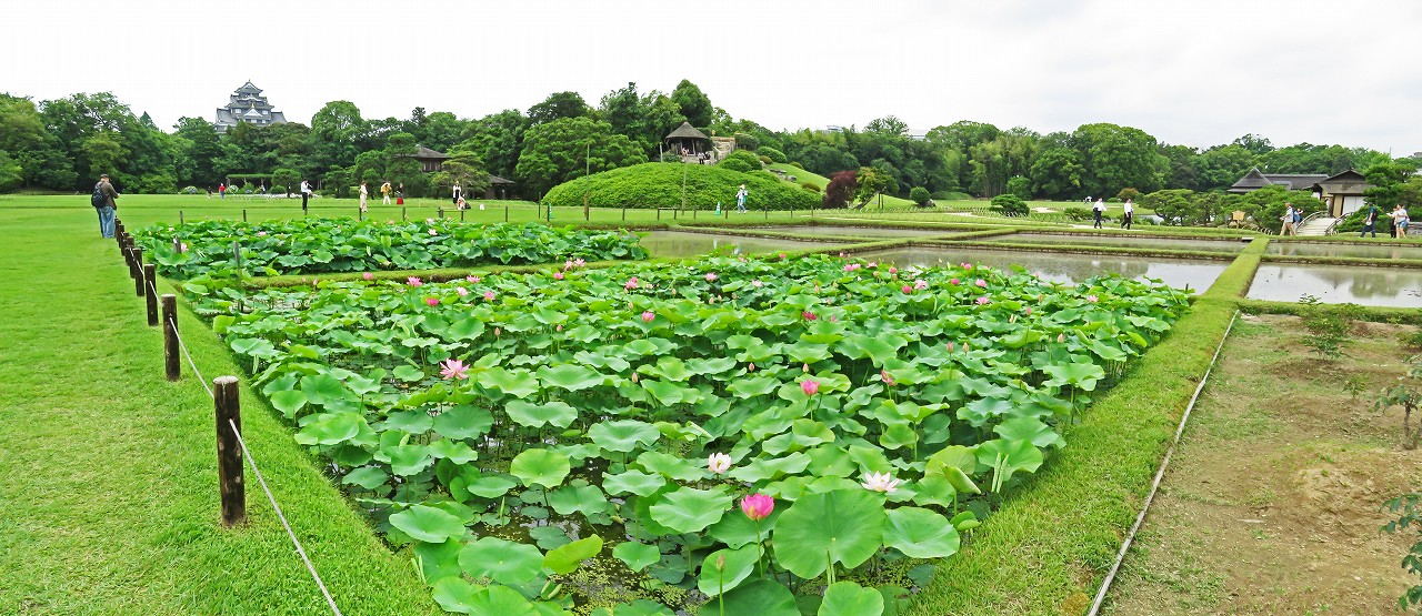 s-20160611 後楽園今日の井田の大賀蓮の花の様子ワイド風景 (1)