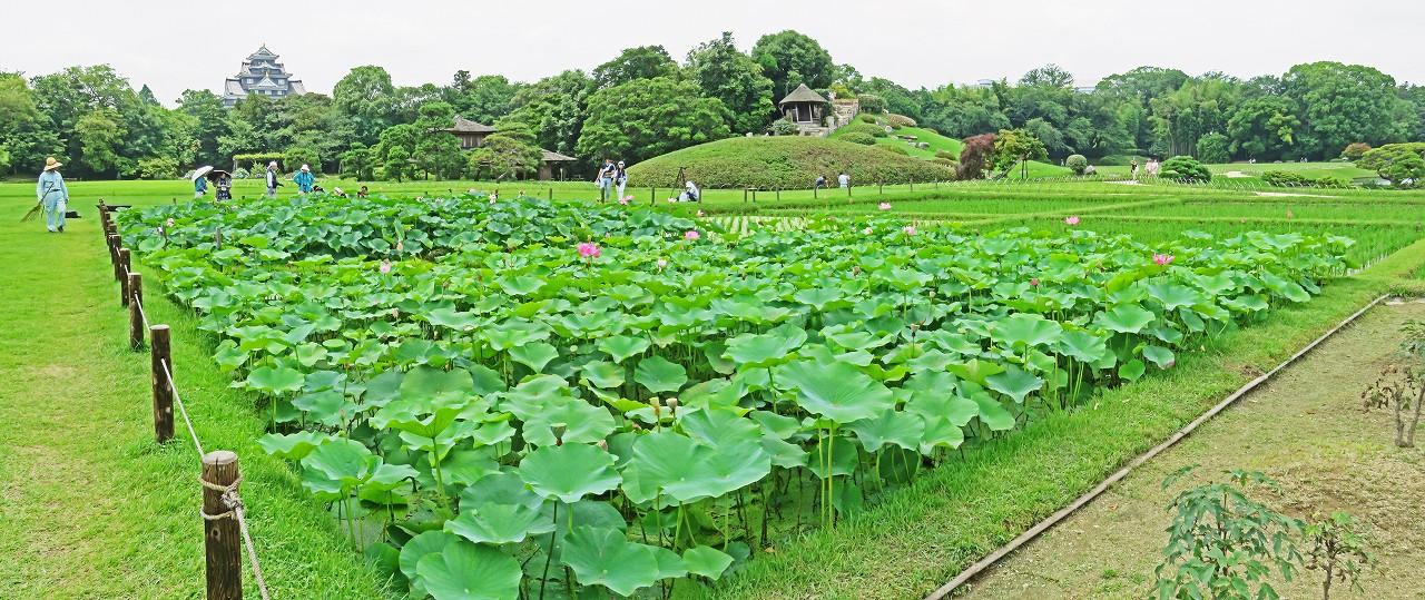 s-20160701 後楽園今日の井田の大賀蓮の花の様子ワイド風景 (1)