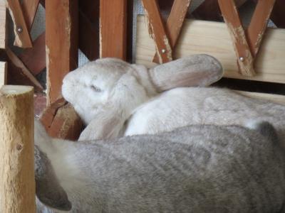 アゴのせに拘るウサギ