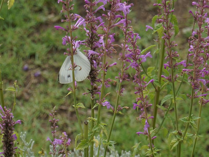 アンゲロニアに蝶