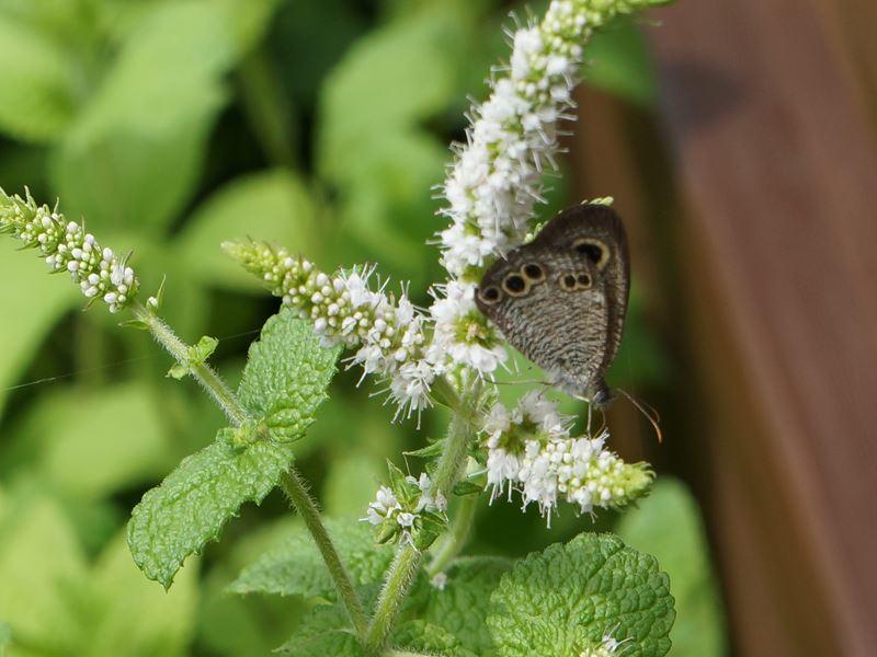 レモンバームに蝶