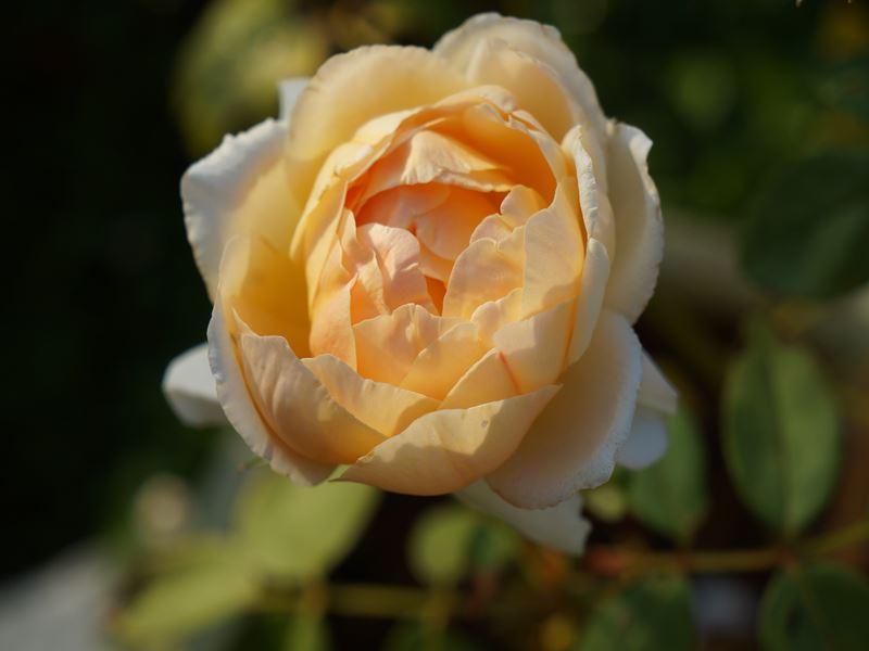 薔薇クレア・オースチン