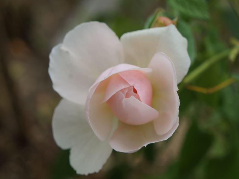 薔薇 セントスイザン
