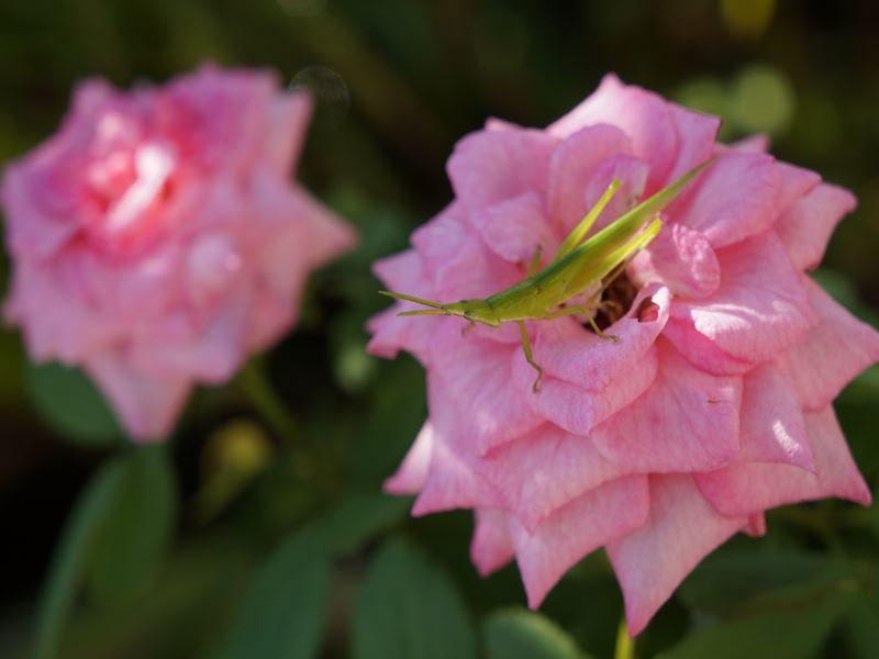 薔薇とバッタ