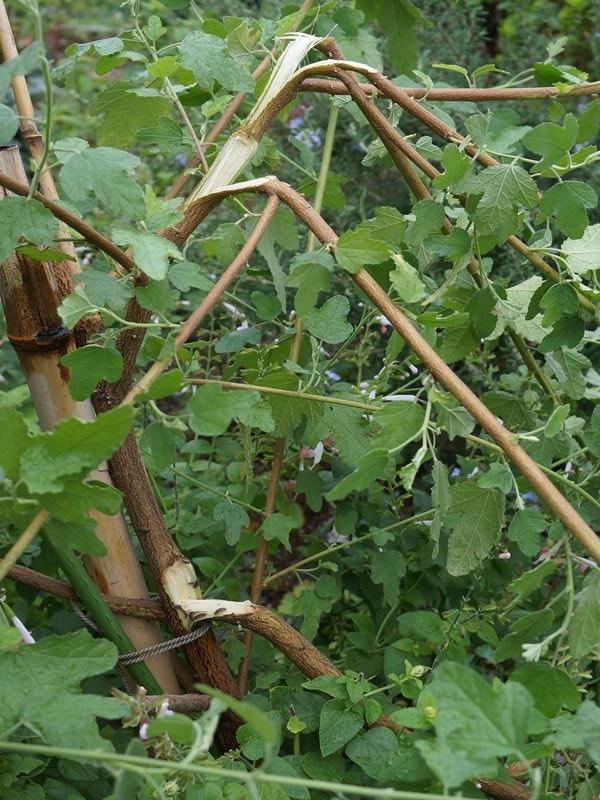 アニソドンティアの木