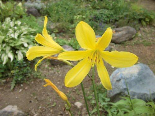 昼咲きユウスゲ