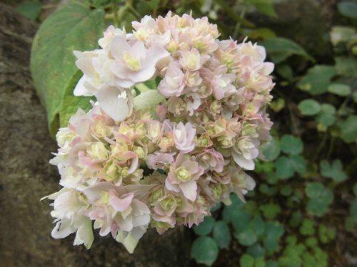 玉紫陽花(八重)