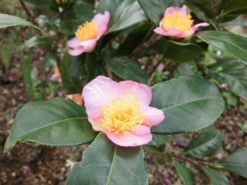 茶の木(赤花)
