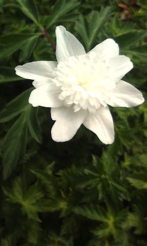 八重咲き一輪草