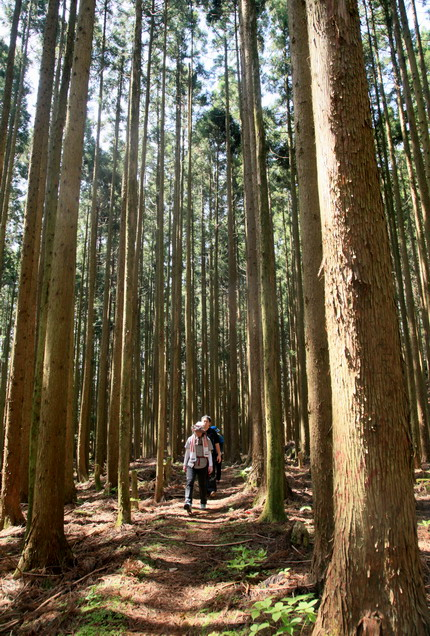 IMG_9157杉木立を行く