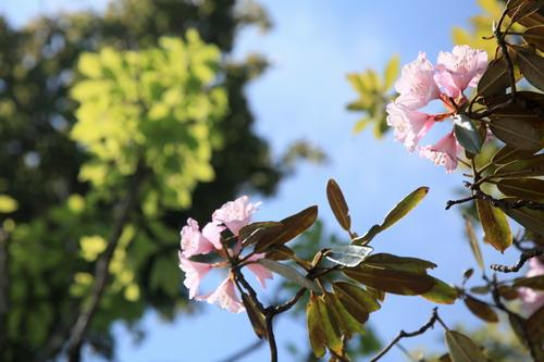 IMG_9371石楠花咲き残り