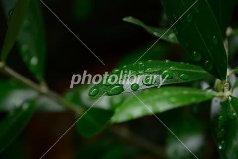 4604530 オリーブの葉っぱ