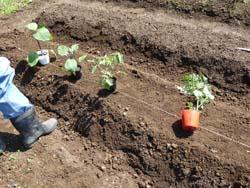 夏野菜の苗2