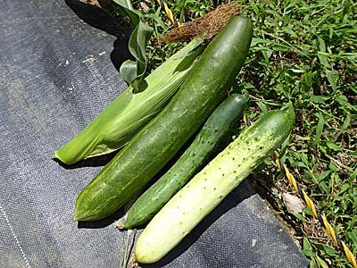 収穫した相模半白胡瓜ととうもろこし