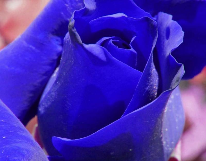 紫の薔薇psd