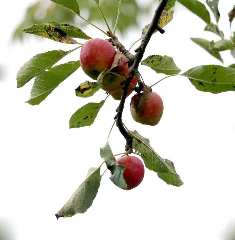 ひめリンゴ