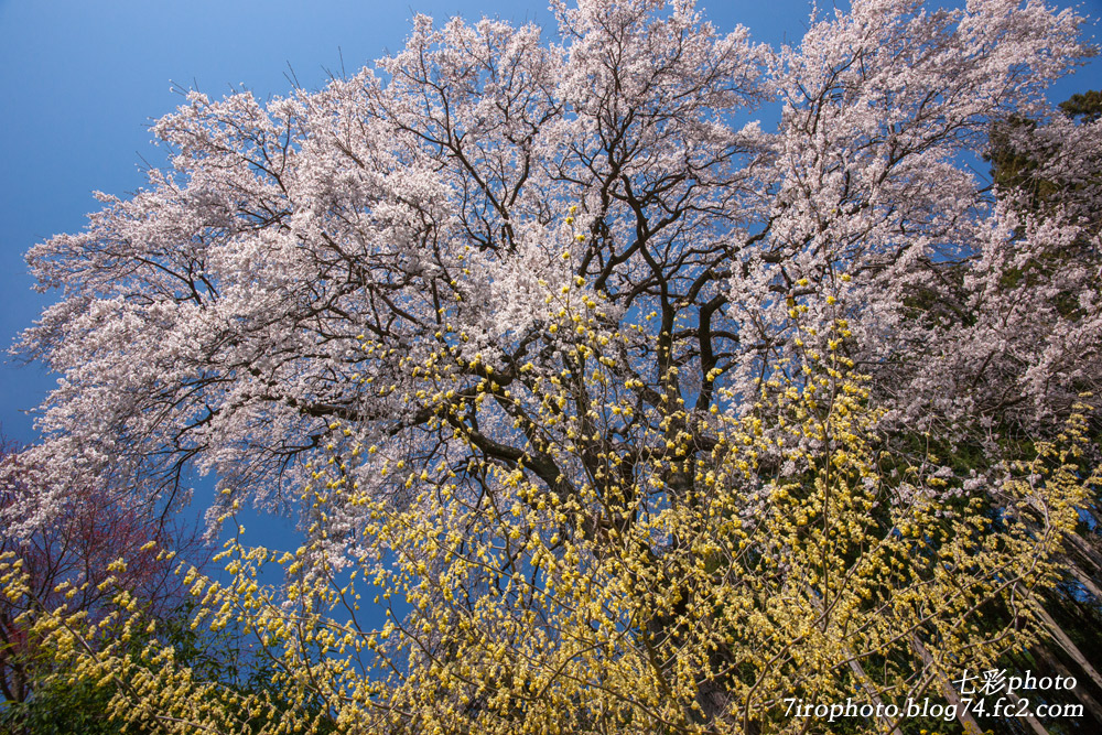 04-12-15_三春桜_0062_edited-1