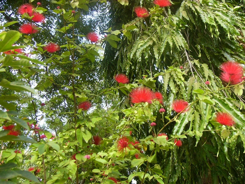 2ねむの木花P1000609