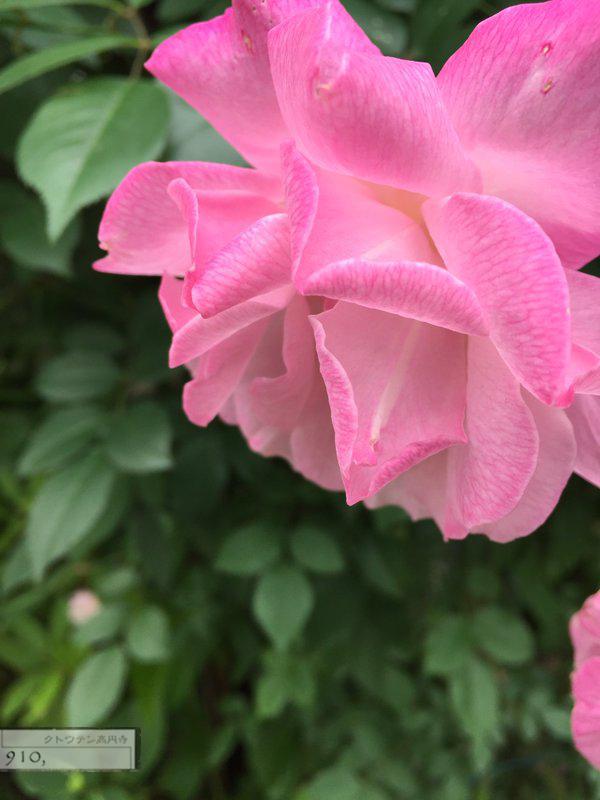 20160502-rose-re.jpg