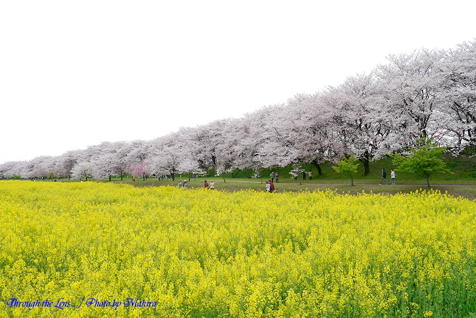 菜の花と桜堤L1