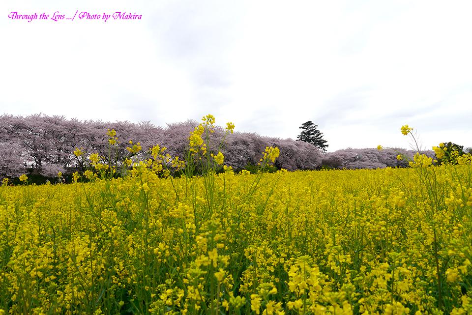 菜の花と桜堤L2