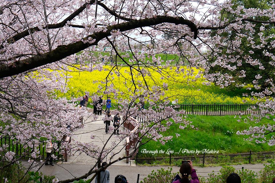 桜と菜の花L1