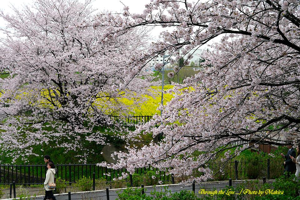 桜と菜の花L2