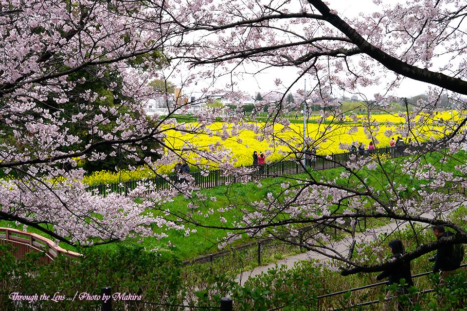 桜と菜の花L3