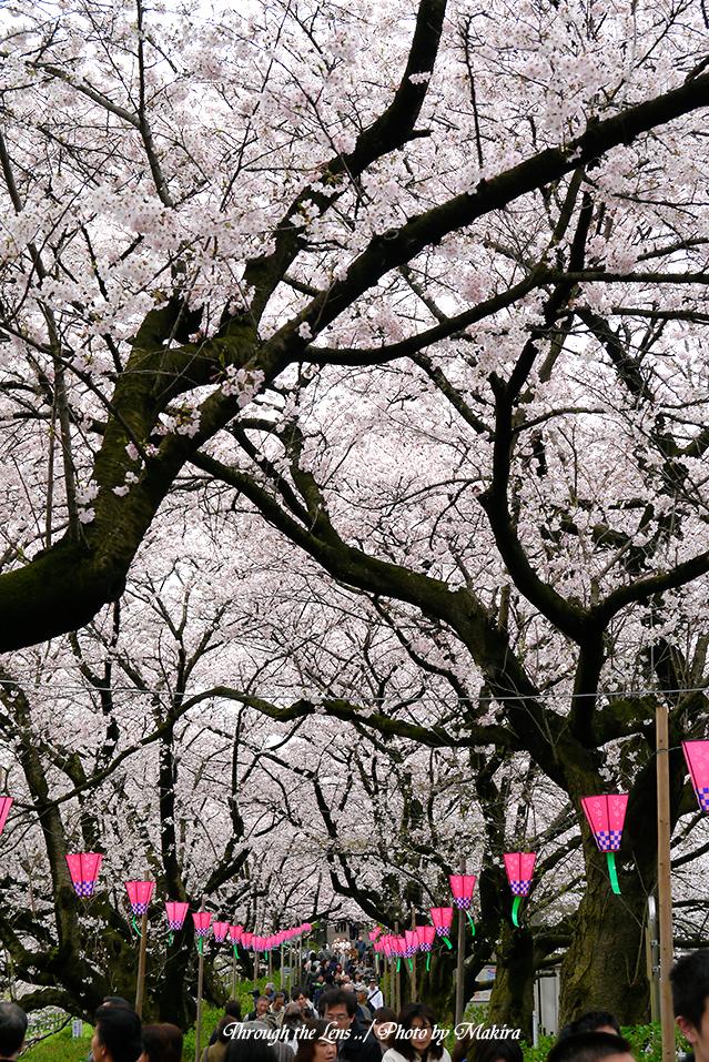 桜のトンネルL1