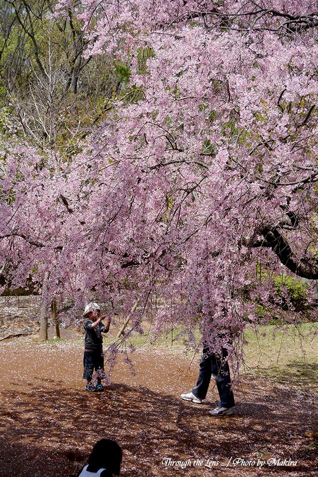 桜の下でL2