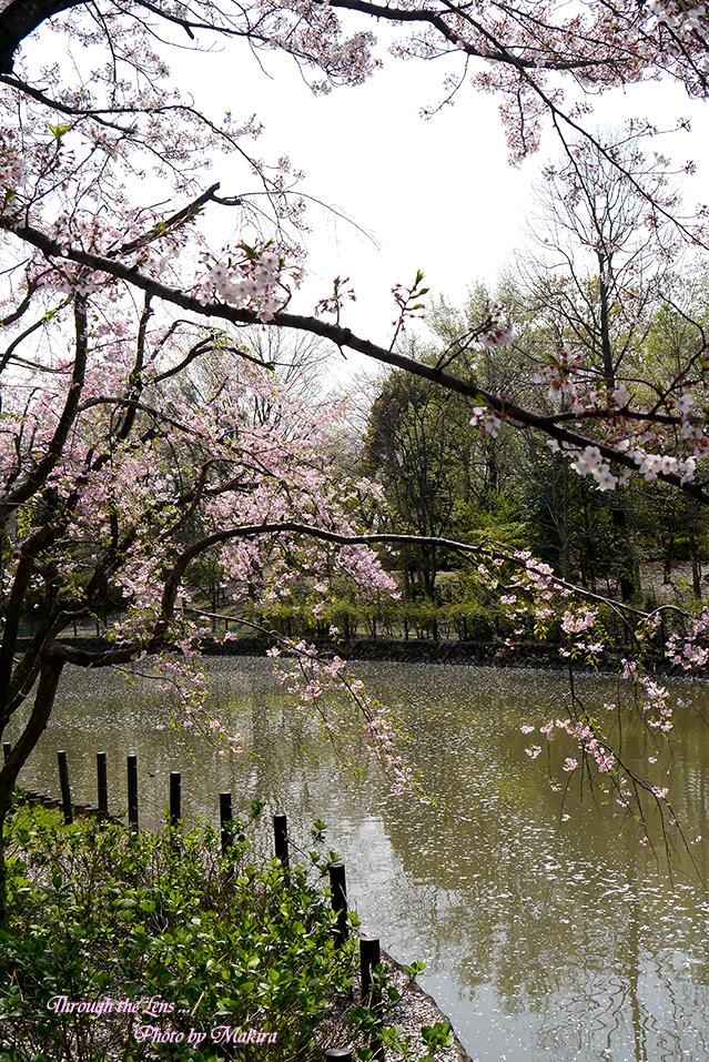 桜と花筏L1