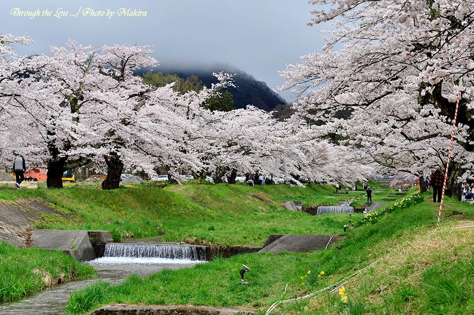 観音寺川桜並木1