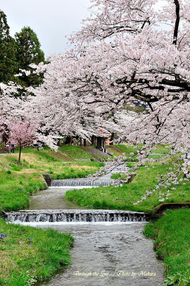 観音寺川桜並木2