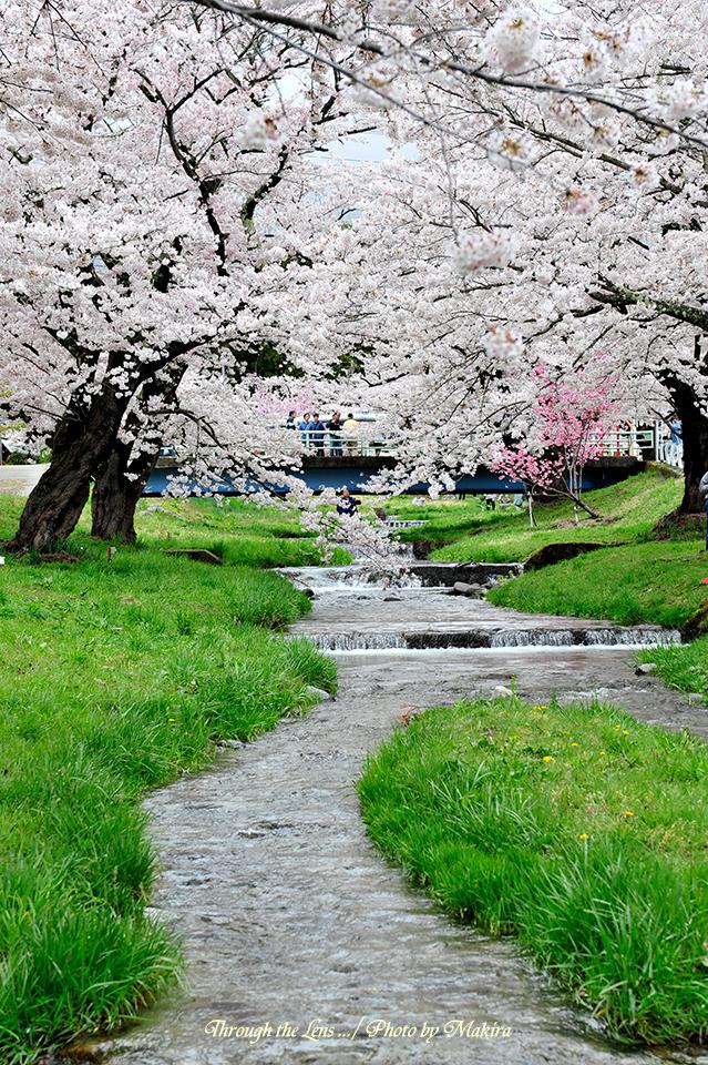 観音寺川桜並木3
