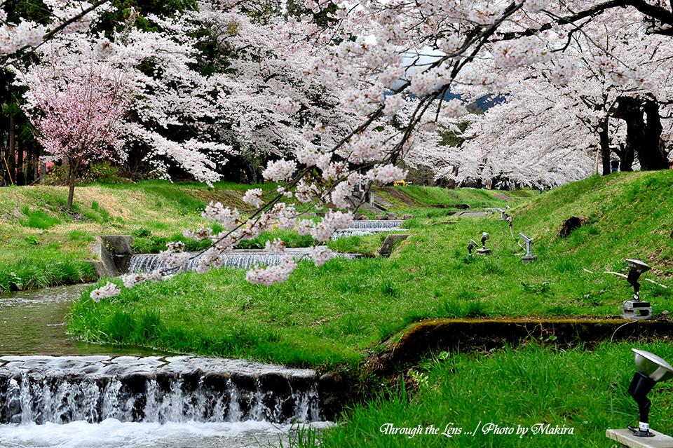 観音寺川桜並木5