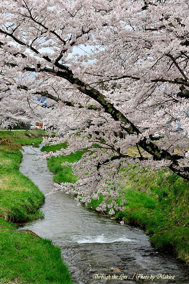 観音寺川桜並木4