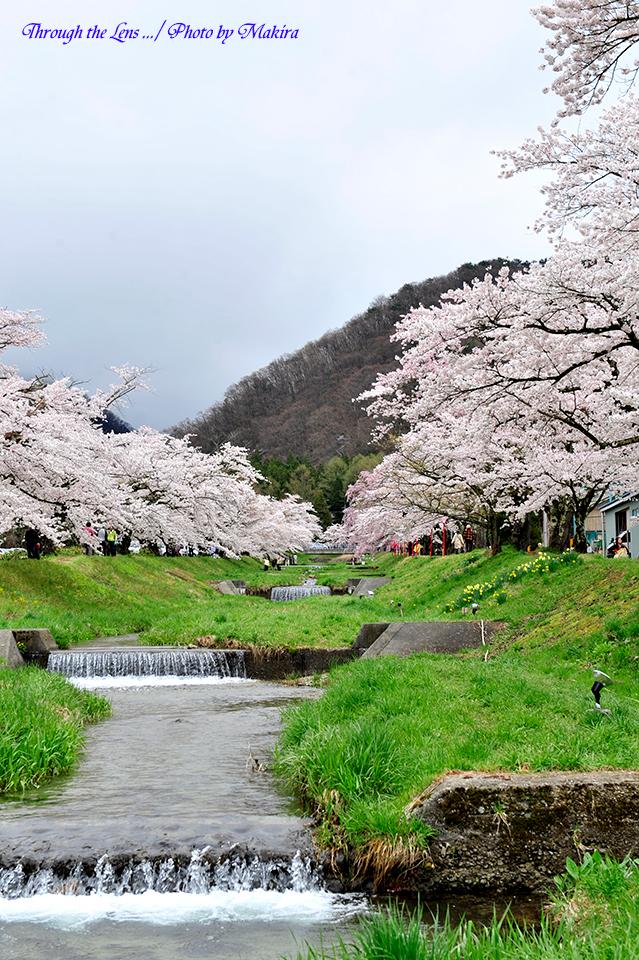 観音寺川桜並木6