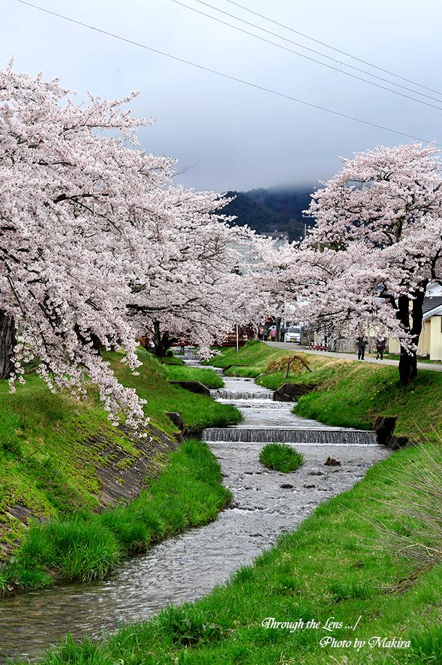 観音寺川桜並木7