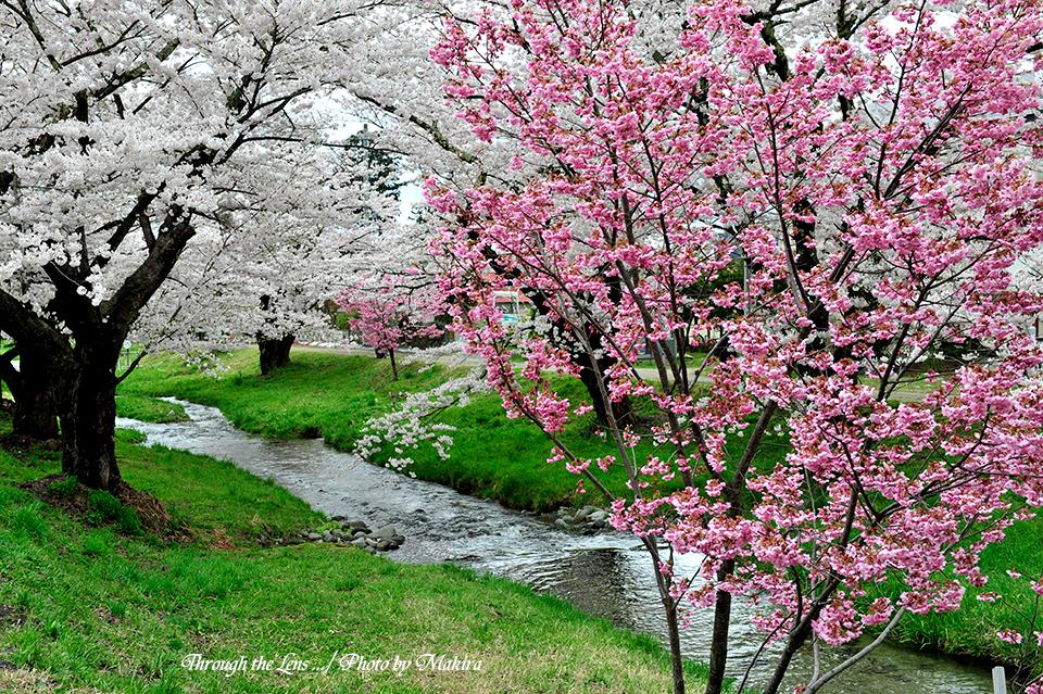 観音寺川桜並木8