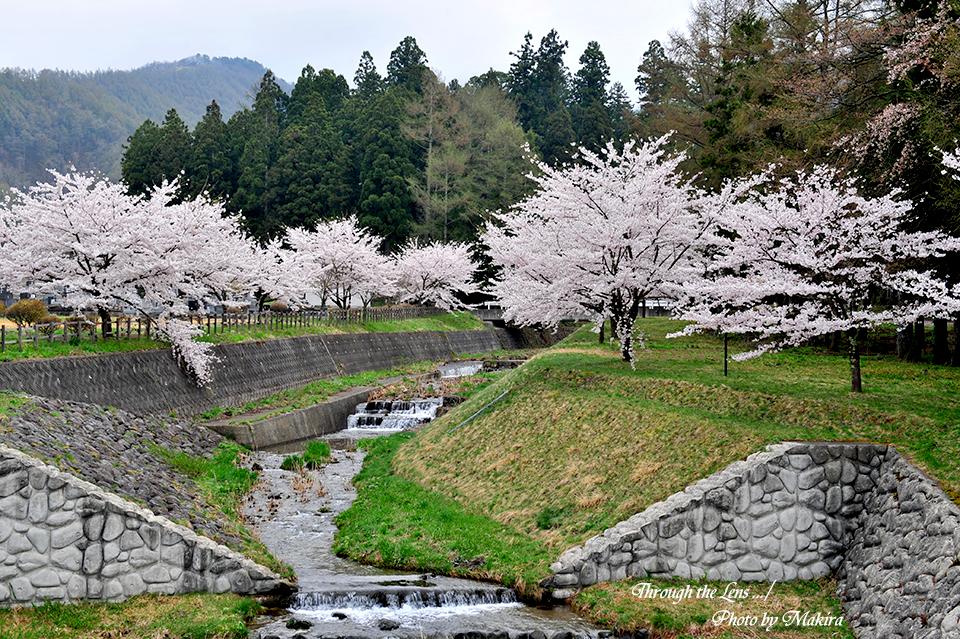 観音寺川桜並木11