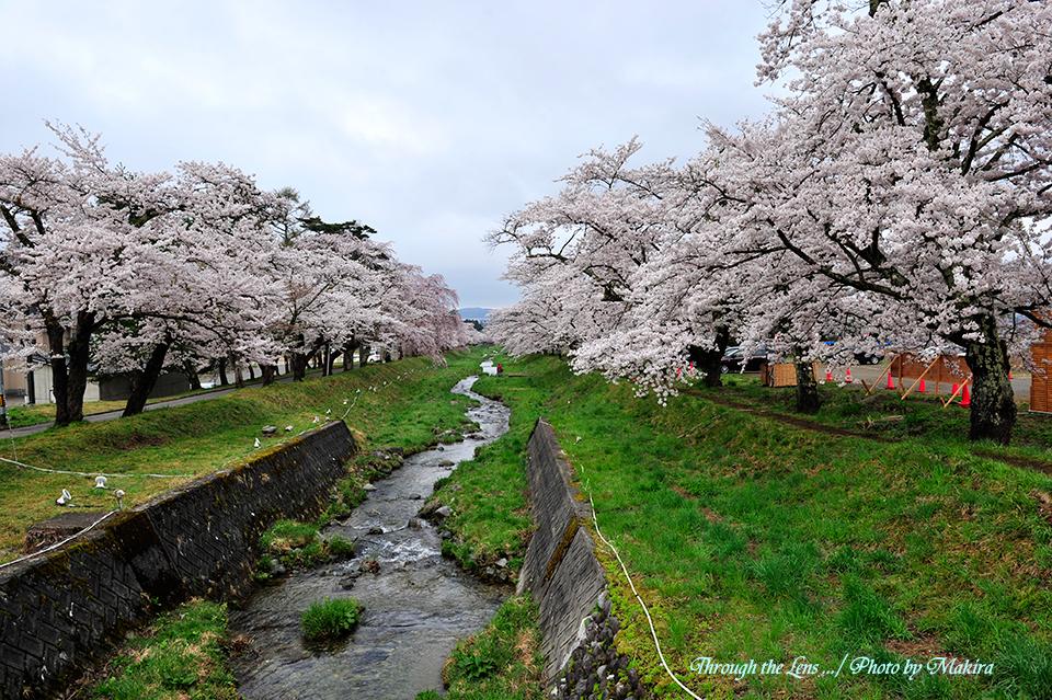 観音寺川桜並木12