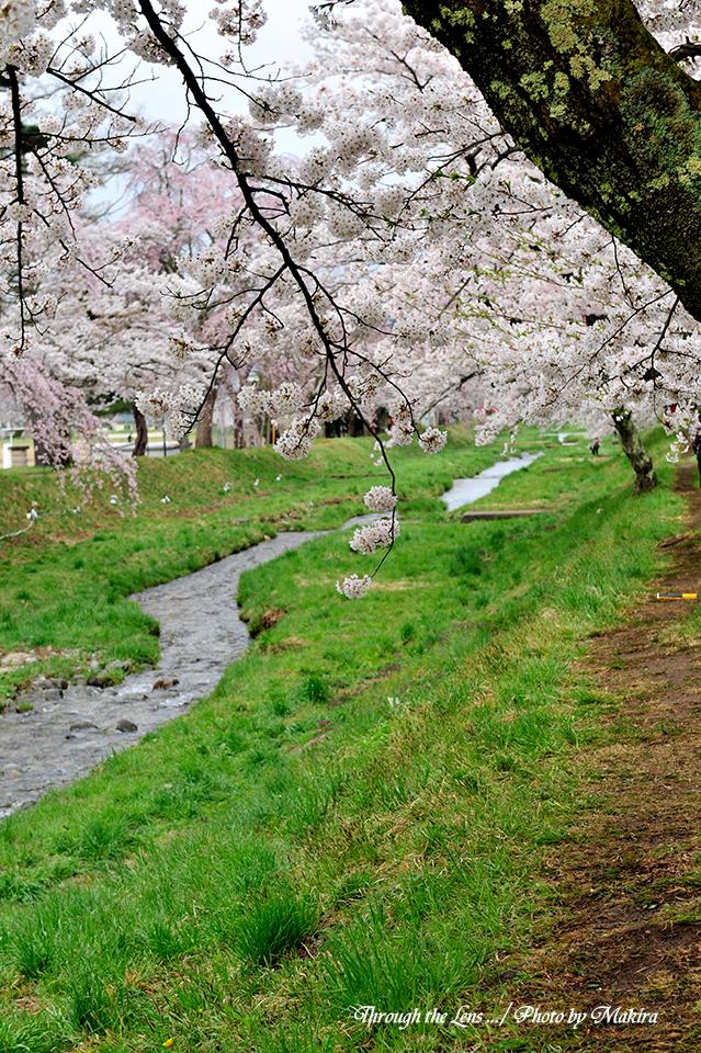 観音寺川桜並木14