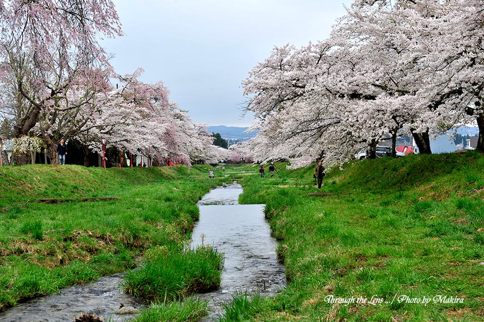 観音寺川桜並木15