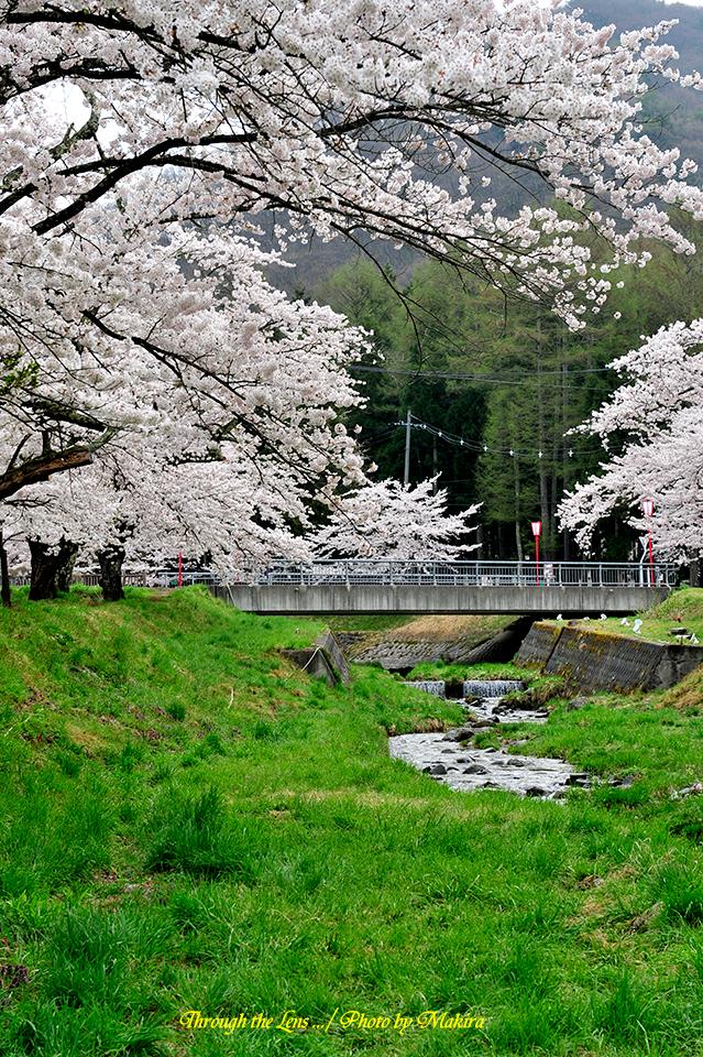 観音寺川桜並木16