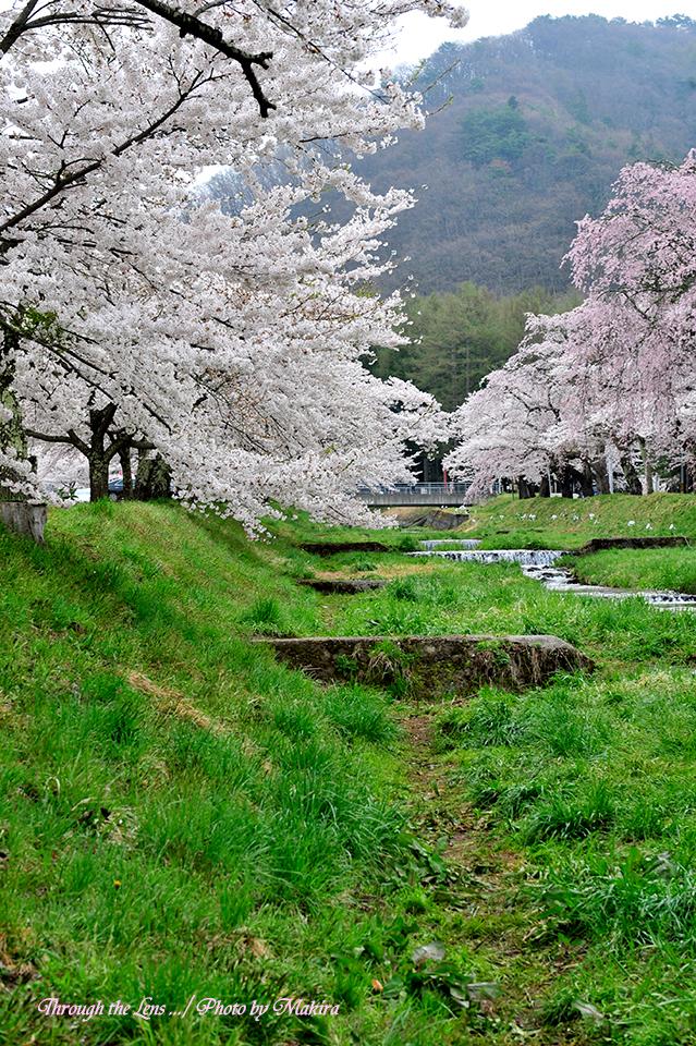 観音寺川桜並木18