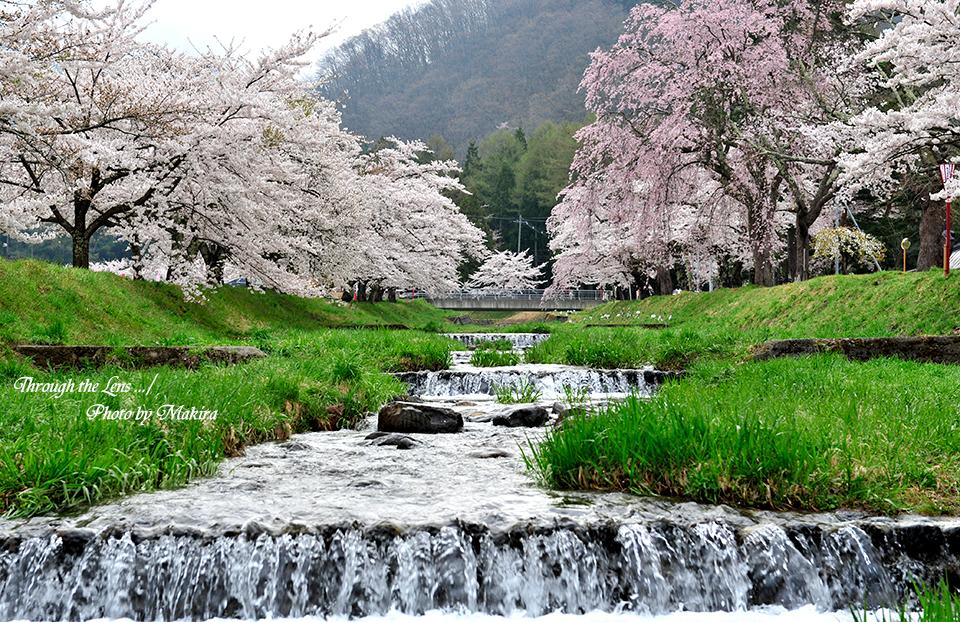 観音寺川桜並木19