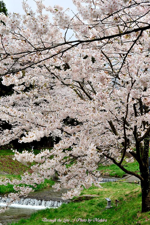 観音寺川桜1