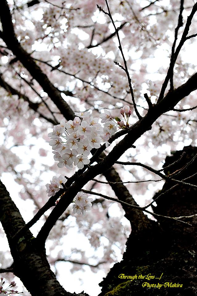 観音寺川桜3